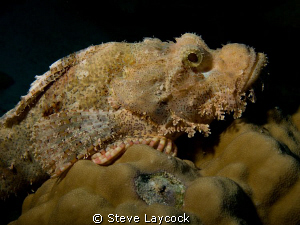 Bearded scorpion fish by Steve Laycock 